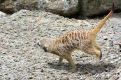 Meerkat walks on rocks Royalty Free Stock Photography