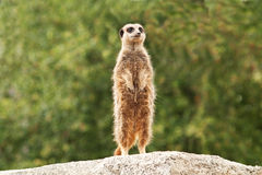 Meerkat on watch Royalty Free Stock Images