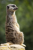 Meerkat on watch Stock Photography