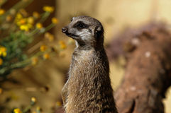 Meerkat on watch. A meerkat at a zoo on watch stock images