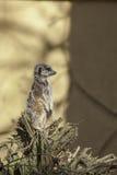 Meerkat on watch. Copy Space. Stock Images
