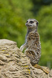 Meerkat On Watch. For danger Royalty Free Stock Photo