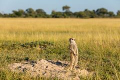 A Meerkat is on watch royalty free stock photo