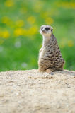Meerkat on watch with green grass in background Royalty Free Stock Photo