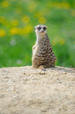Meerkat on watch with green grass in background Royalty Free Stock Photography