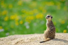 Meerkat on watch with green grass in background Stock Image