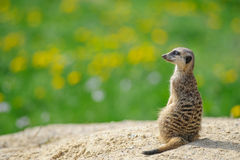Meerkat on watch with green grass in background Stock Photos