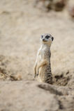 Meerkat on watch Stock Image