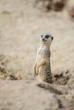 Meerkat on watch Stock Image