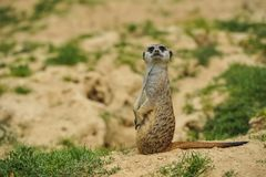 Meerkat on watch in savannah. Single and isolated Meerkat on watch in savannah on sand with arid vegetation in summer day royalty free stock images