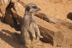 Meerkat on the watch Stock Image