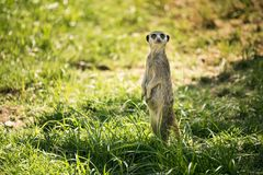 Meerkat on a watch standing. One meerkat on a watch standing in a meadow royalty free stock photo