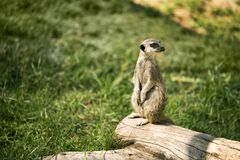 Meerkat on a watch standing. One meerkat on a watch standing in a meadow stock photo