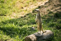 Meerkat on a watch standing. One meerkat on a watch standing in a meadow and looking at camera stock image