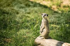 Meerkat on a watch standing. One meerkat on a watch standing in a meadow stock photos