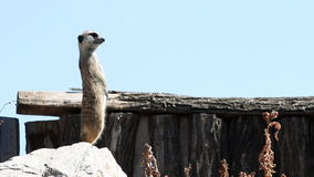 Meerkat on watch Royalty Free Stock Photos