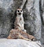 Meerkat watcher. Meerkat on guard at zoo Stock Photography