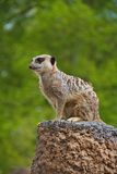 Meerkat Watching Stock Images