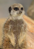 Meerkat watching Royalty Free Stock Photography