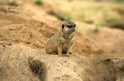 Meerkat watching. Meerkats are small diurnal herpestides weighing on average about 731 grams for males and 720 grams the females. Its long slender body and limbs Royalty Free Stock Photo