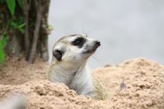 Meerkat Watching Royalty Free Stock Photo