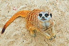 Meerkat watching carefully on desert sand Royalty Free Stock Photography