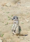 Meerkat watching the environment Stock Image