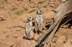 The meerkat watching and guarding in safari. The meerkat watching and guarding in the safari royalty free stock photos