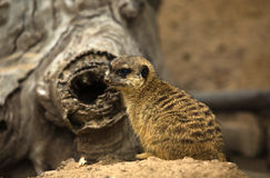 Meerkat watching III. Meerkats are small diurnal herpestides weighing on average about 731 grams for males and 720 grams the females. Its long slender body and Royalty Free Stock Photos