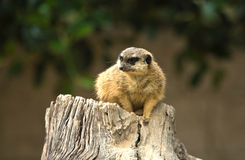 Meerkat watching IV. Meerkats are small diurnal herpestides weighing on average about 731 grams for males and 720 grams the females. Its long slender body and Royalty Free Stock Photos