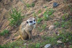 Meerkat watching Stock Photography
