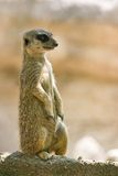 Meerkat watching territory Royalty Free Stock Images