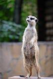 Meerkat, welches das Gebiet schützt Stockfotos