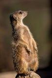 Meerkat in the wild Stock Photos