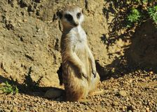 Meerkat. A wild meerkat posing in the wild Royalty Free Stock Image