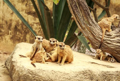 Meerkat Wildlife Stock Images