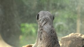Meerkat Wildlife in Nature stock footage