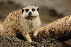 Meerkat working Stock Images