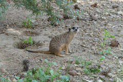Meerkat. Young male meerkat looking out Royalty Free Stock Image
