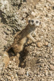 Meerkat. Young meerkat peering curiously out Stock Images
