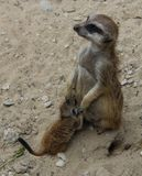 Meerkat with a youngster Stock Photo