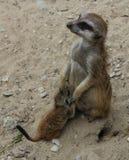 Meerkat z młodzienem Zdjęcie Stock