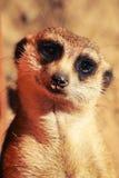 Meerkat ziet eruit Royalty-vrije Stock Foto