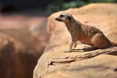 Meerkat zit alleen Royalty-vrije Stock Fotografie