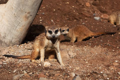 Meerkat in zoo Stock Images