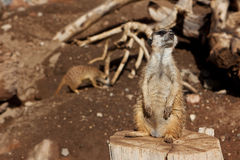 Meerkat in zoo Stock Images