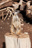 Meerkat in zoo Royalty Free Stock Photo