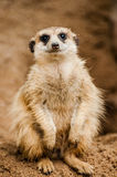 Meerkat in zoo Stock Image