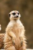 Meerkat in zoo. Meerkat in Khao Kheow Open Zoo Royalty Free Stock Image