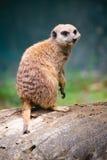 Meerkat. A meerkat at the zoo Stock Photo